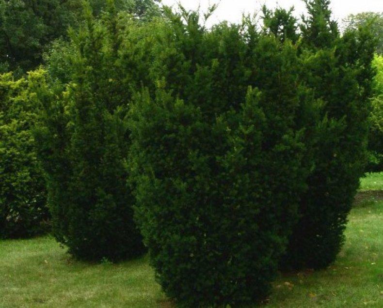 хвойный, дерево, название, описание, хвойной породы, вырастает метров
