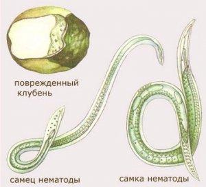 Нематод