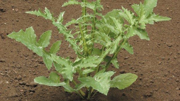 Осот: полезные свойства и применение травянистого многолетника