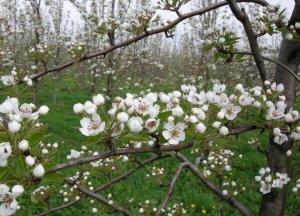 Обработка цветущих деревьев