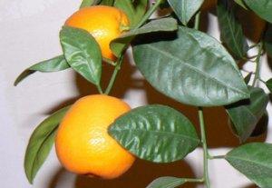 Вредители мандаринов и способы борьбы с ними