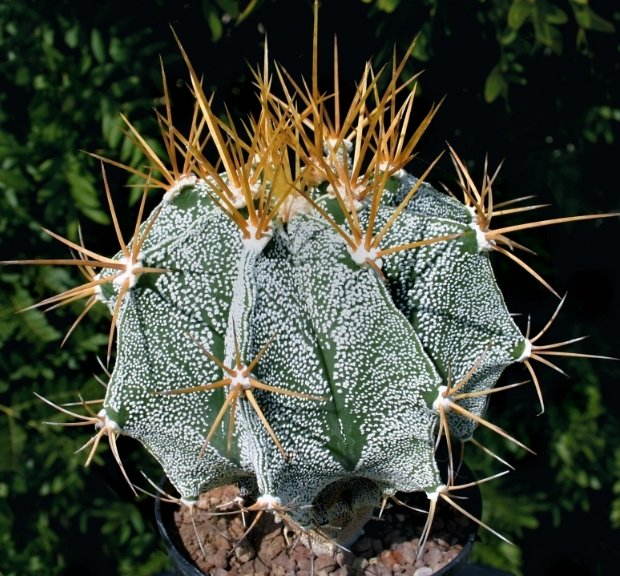астрофитум украшенный комнатные растения