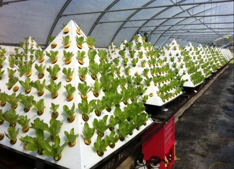 Промышленное выращивание салата