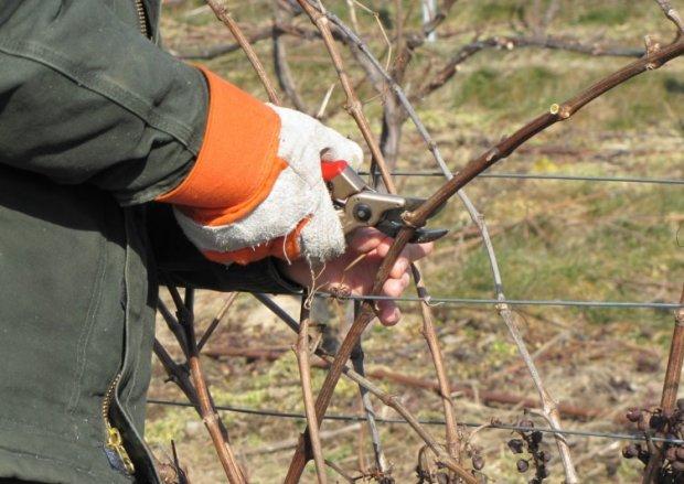 Як обрізати виноград