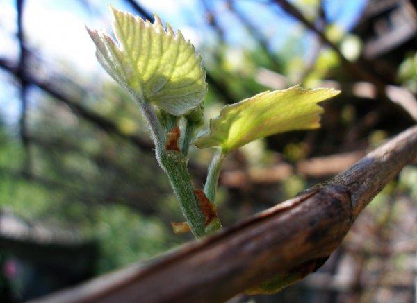 Как правильно обрезать виноград инструкция: обрезка винограда для начинающих осенью весной