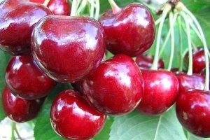Плоды черешни Регина