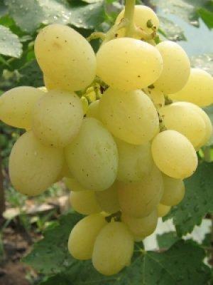 Виноград кеша описание сорта фото отзывы