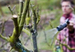 Борная кислота для растений в саду и огороде способы применения вещества для разных культур