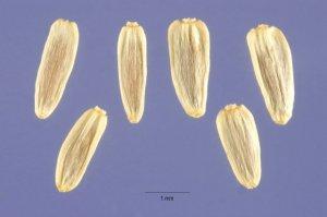 Семена тысячелистника