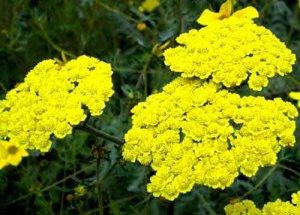 Желтые сорта тысячелистника