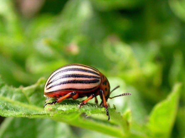 Как выбрать лучшую отраву от колорадского жука