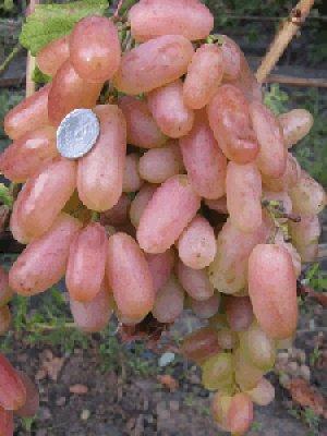 сорта винограда юбилей новочеркасска