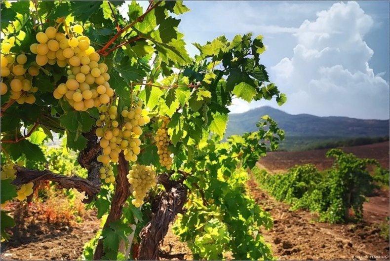 урожайность, виноград, вырасти, винограда выросла, Урожайность винограда, Урожайность винограда выросла