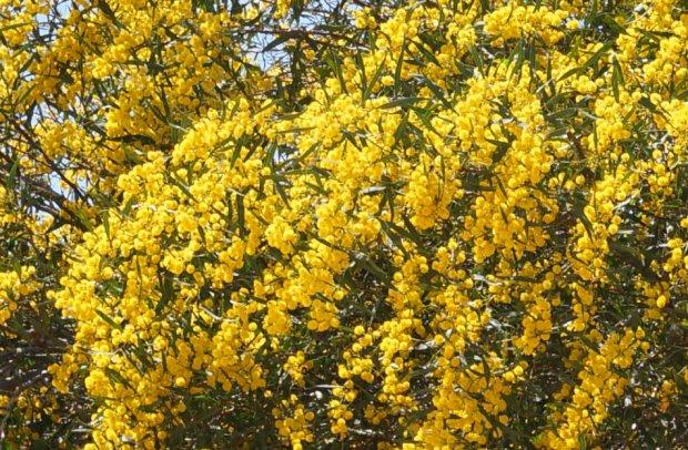 Жёлтая акация фото