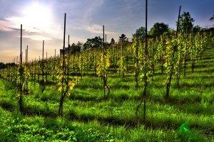 Виноград сенсация