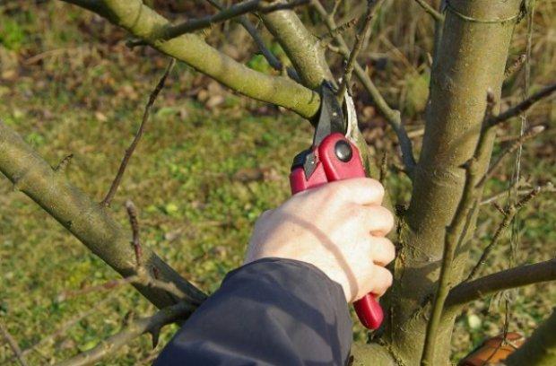 Яблоня серебряное копытце описание фото отзывы