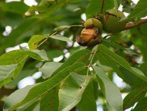 Болезни грецкого ореха