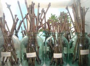 Гетероауксин стимулирует корнеобразование черенков