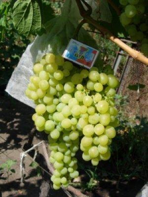 Виноград алешенькин описание сорта фото отзывы