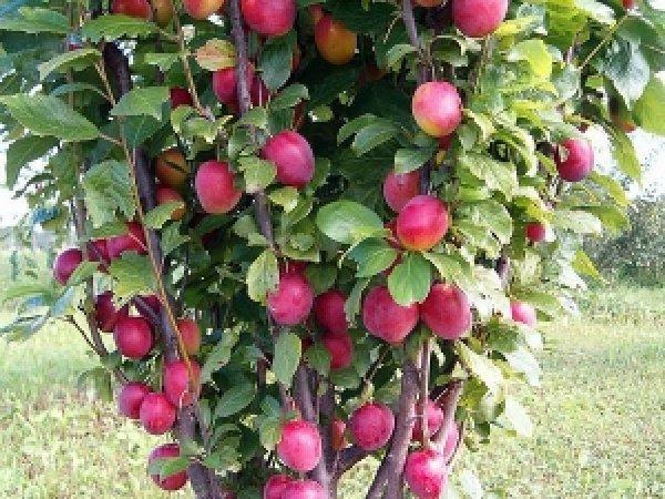 Колоновидные плодовые деревья выращиваем сливу
