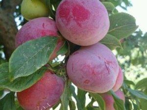 Плоды сорта «Империал» очень крупные