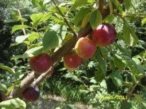 дерево сорта «Империал» очень плодоносное