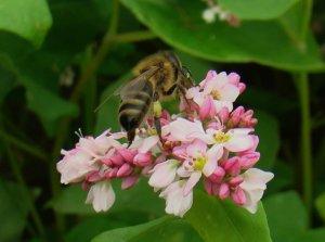 Пчела на гречке