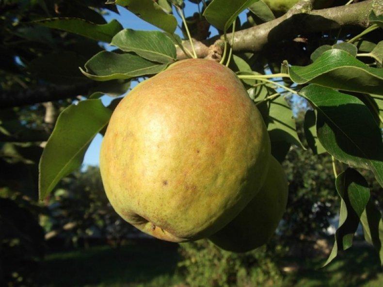Груша «Кубанская поздняя» имеет очень красивую форму плодов
