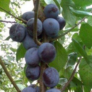 У сорта «Блю Свит» самые большие плоды