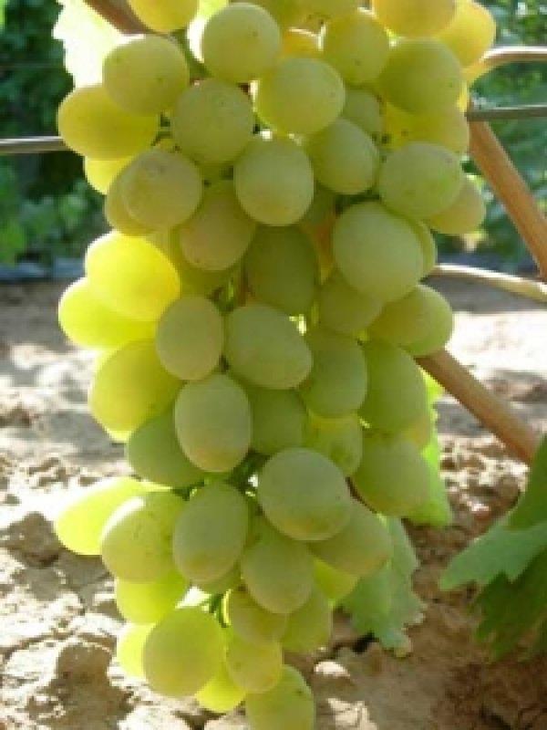 Ланселот столовый сорт винограда