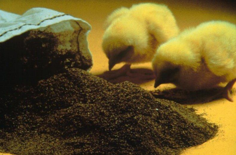 Кормление цыплят жмыхом