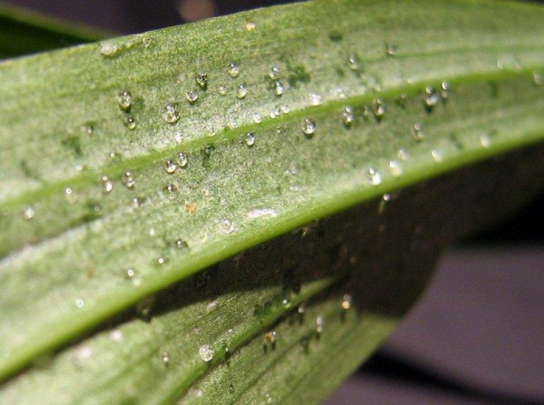 Паутинный клещ на листьях орхидеи