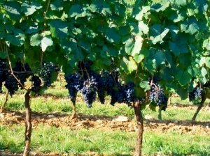 сорт, виноград, сфинкс, милдью оидиумом, винограда «Сфинкс»