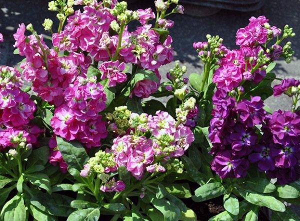 Цветок левкой: посадка и уход в открытом грунте, фото, выращивание из семян