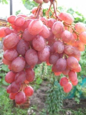 сорт, виноград, румб, сорта «Румба»