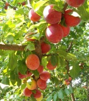 Необходимо поливать дерево для хороших урожаев
