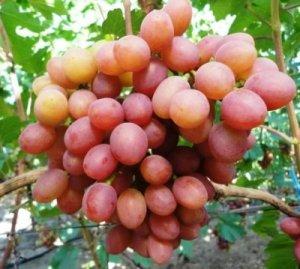 Виноград гелиос описание сорта фото