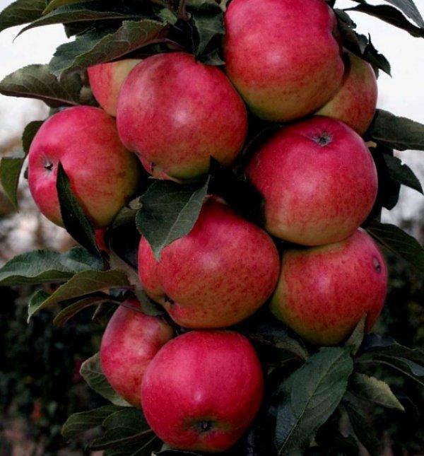Правила посадки и ухода за колоновидными яблонями в сибири