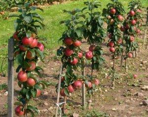 Колоновидные яблони с колышками