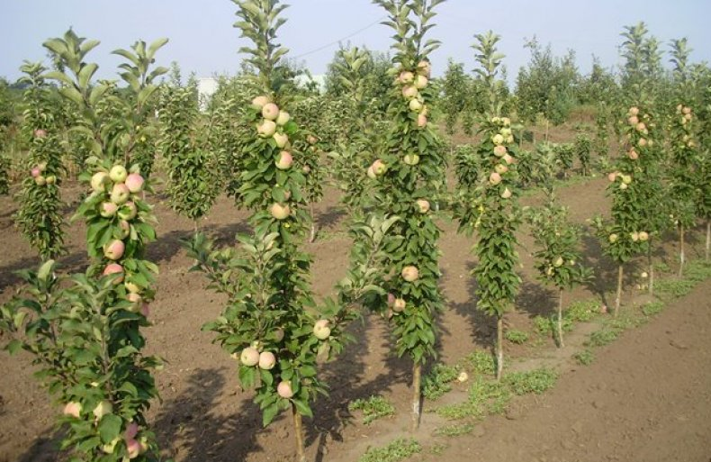 Расстояние между яблонями