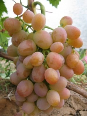 Сорт винограда «Хамелеон»