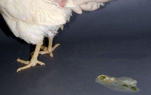 непередающиеся, болезнь, цыпленок, бройлер