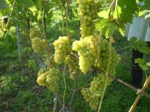 Виноград благовест описание сорта фото отзывы