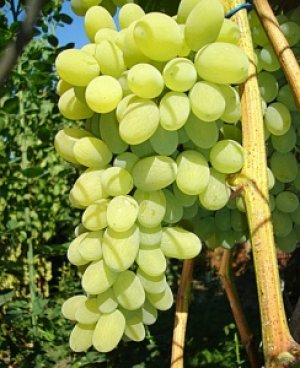 Виноград августин описание сорта фото