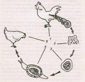 Схема заражения кокцидиозом