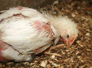 Кокцидиоз в цыпленка