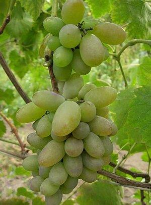 Виноград очень вкусный