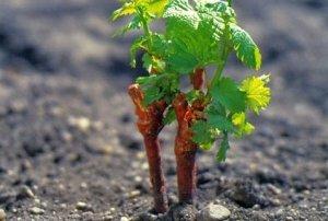 Можно высаживать виноград как весной так и осенью