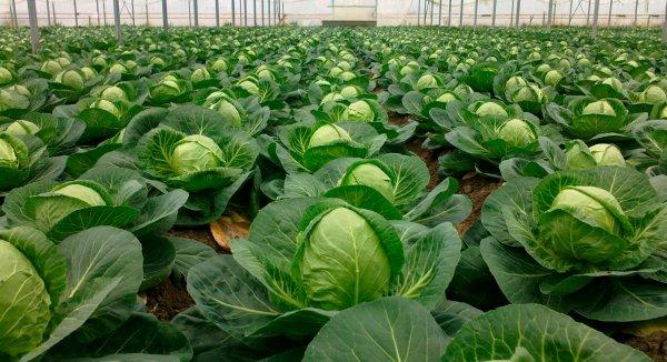 Чем подкормить рассаду капусты для роста. Схема подкормок