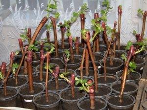 Есть много способов размножения винограда